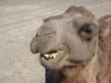 Kamele auf Fahrt Richtung Bayanzag