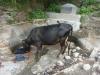 Kuh wäscht
