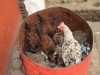 Huhn im Topf