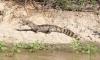 Alligator mit Fisch