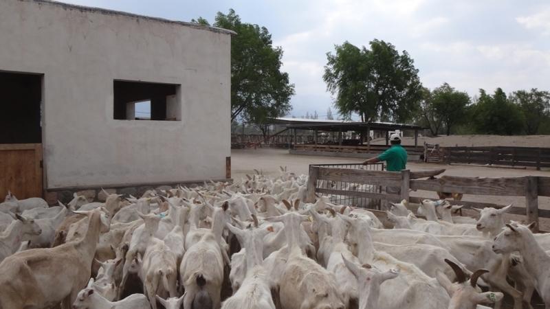 Cabras de Cafayate