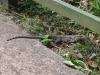 Iguazu-Drache